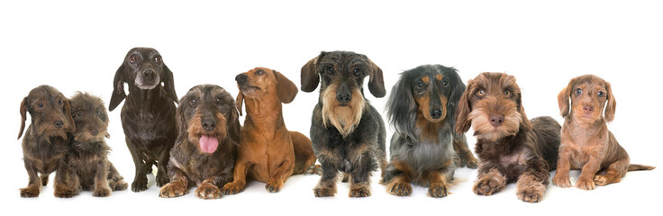 group of dachshunds in studio