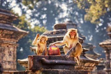 Rhesus Macaques, Pashupatinath, Kathmandu, Nepal