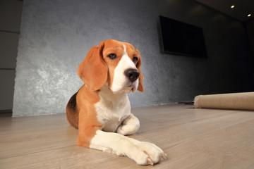 Beagle dog on wooden floor