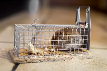 Maus ist in Mausefalle gefangen, Lebendfalle oder Kastenfalle in der Küche