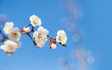 Cherry tree flowers with blue sky