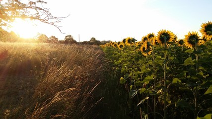 Edge of Sunflower Field near Bergerac