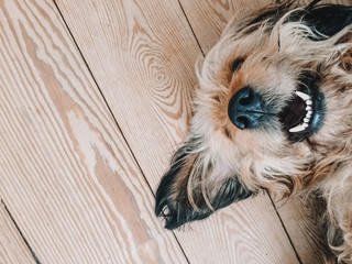 Cute dog smiling while lying on a wooden floor with its nose up showing white teeth Wall mural