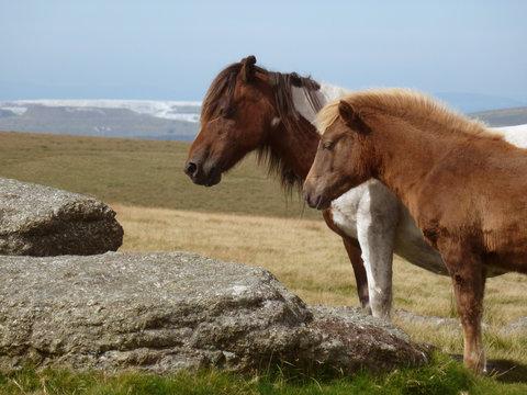 Dartmoor Ponies, Devonshire