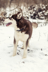Red husky dog running in snow