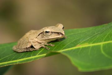 Image of Common Tree Frog (Polypedates leucomystax) on the green leaf. Amphibian., Animal.