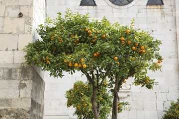 Orange Tree outside Cathedral, Lisbon