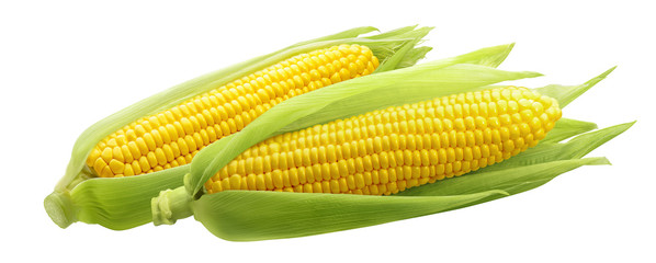 Corncobs or corn ears isolated on white background
