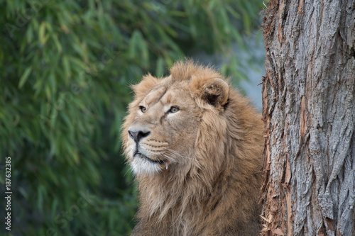 Asiatische Lions asiatischer löwe im tierpark stock photo and royalty free images on