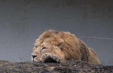 Ruhender asiatischer Löwe