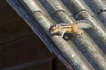 cute furry Chipmunk in nature