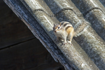 cute furry Chipmunk in nature