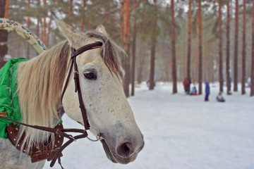the muzzle of the white horse in winter forest