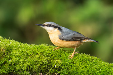 Nuthatch (Sitta Europaea) on a  mossy log