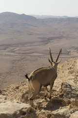 mountain goat with beautiful big antlers goes among the rocks on a high plateau in the Judean mountains against the background of  desert far below