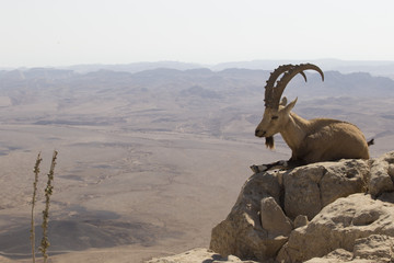a mountain goat with curved large horns lies on a rock near the cliff in the Judean mountains against the background of the desert far below