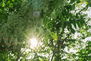 tree of flowering white acacia with green leaves with sun rays in the spring day