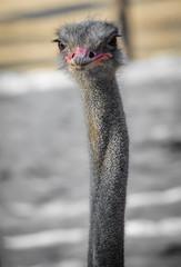 portrait of cute ostrich face
