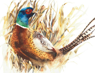 Pheasant game bird farm bird colorful animal watercolor painting illustration isolated on white background