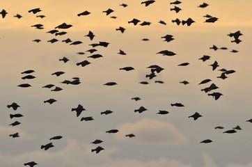 Common Starling (Sturnus vulgaris), Greece