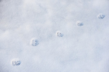 Cat's trace on snow