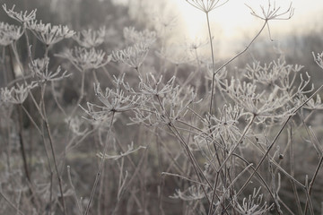 Hoarfrost on dry grass. Frost covered grass or wild flowers. Winter background.