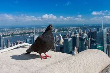 Pigeon on the Empire State Building,New York