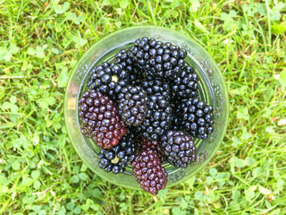Hands holding black raspberries on the green grass