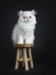 Persian cat / kitten sitting on a wooden stool isolated on black background looking  in camera