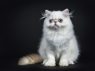 Persian cat / kitten front forward isolated on black background left from the camera