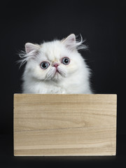 Persian cat / kitten sitting in wooden box isolated on black background looking straight in camera