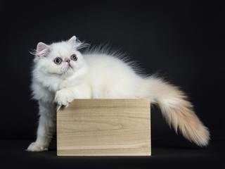 Persian cat / kitten standing in wooden box isolated on black background looking straight in camera with tail and pas outside the box