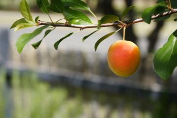 Cherry Plum ripening on the tree