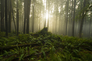 Trees growing in forest during foggy weather at North Cascades National Park