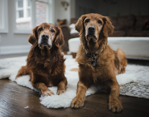Golden retrievers sitting on rug at home