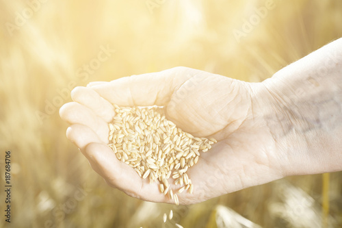 Harvest time and golden hour  Wheat grains falling from old