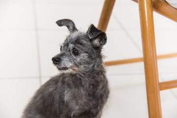 Cachorro pequeno e velho olhando para trás