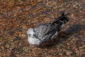 Single seagull in shallow water