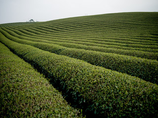 Tea plantation in Moc Chau, Vietnam