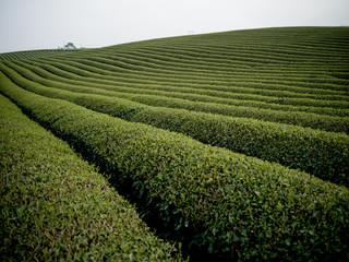 Tea plantation in Moc Chau, Vietnam