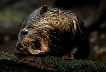 An Asian small-clawed otter, one of the 14 birthed at the Singapore Zoo and Night Safari, feeds on a fish during a media tour to showcase newborn animals at the Singapore Zoo