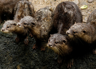 Asian small-clawed otters, part of the 14 birthed at the Singapore Zoo and Night Safari, gather during feeding time during a media tour to showcase newborn animals at the Singapore Zoo