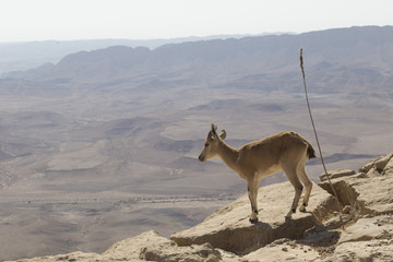 A young mountain goat looks into the abyss, standing on a rock by the cliff in the Judean mountains against the background of the sky and the desert