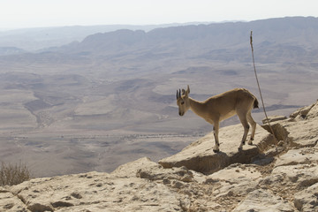 a  young mountain goat with small horns looks into the abyss, standing on a rock near the cliff in the Judean mountains against the background of the sky and the desert