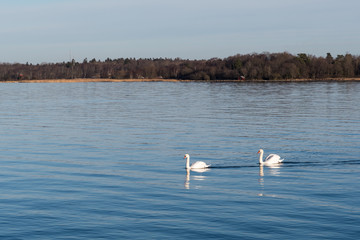 Graceful swans in calm water