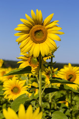 Sunflowers blooming against a blue sky, yellows flowers in Ukraine