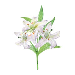 Watercolor bouquet of lily. White flowers.