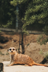 a brown meerkat in bright warm light looking cute with lazy eyes straight into the camera while sitting on a tiny hill of  soil