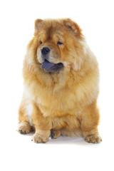 Fototapete - The chow-chow dog