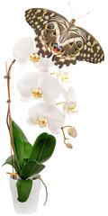 papillon sur orchidée blanche, fond blanc